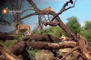 Luis Andaur fue en busca de los leones de Samburu
