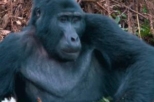 ¡Luis fue atacado por un gorila!