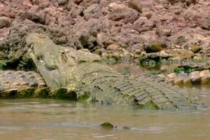 ¡Luis Andaur fue en busca de los famosos cocodrilos del Nilo!