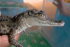 Aldea Nubiana: Un lugar donde crían cocodrilos