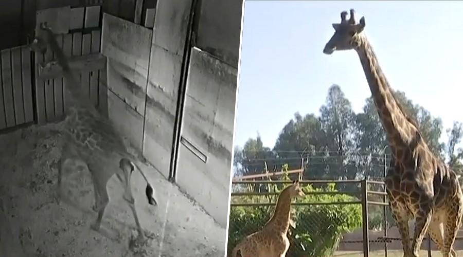 Impresionante registro del nacimiento de una jirafa en Buin Zoo