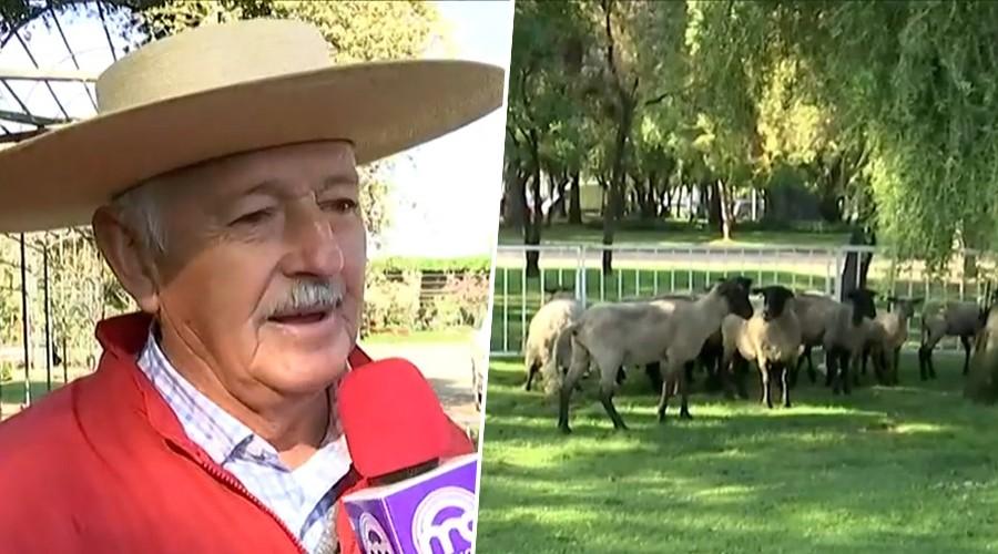 Iniciativa de Lavín por megasequía: 150 ovejas llegan a pastar parques de Las Condes