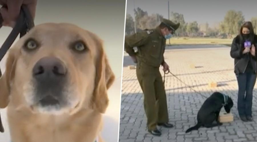 """Perros """"héroes"""" de la escuela de adiestramiento canino de Carabineros detectarán a asintomáticos de Covid-19"""