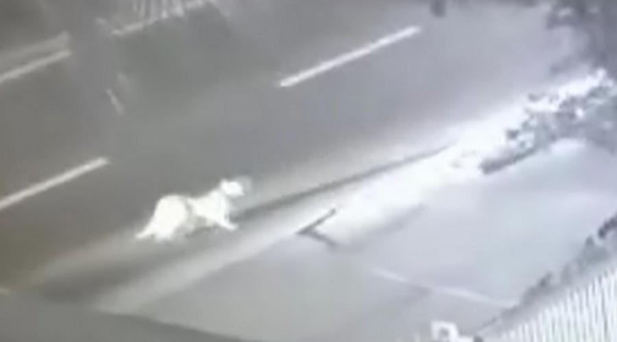 Puma suelto en Huechuraba: Carabineros informó el avistamiento