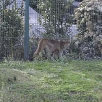 Intenso operativo para capturar a pumas en condominio de Las Condes
