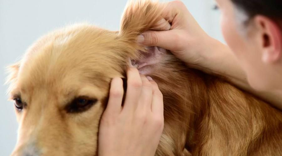 Collar antiparasitario es clave para evitar alergias en perros y gatos provocadas por pulgas y garrapatas
