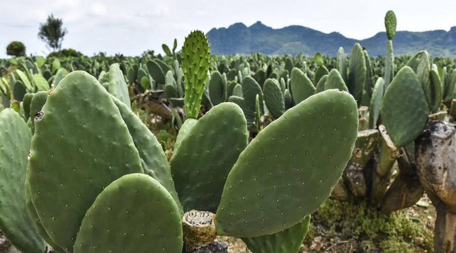 Nopal: El cactus que puede ayudar a quienes tienen problemas de peso