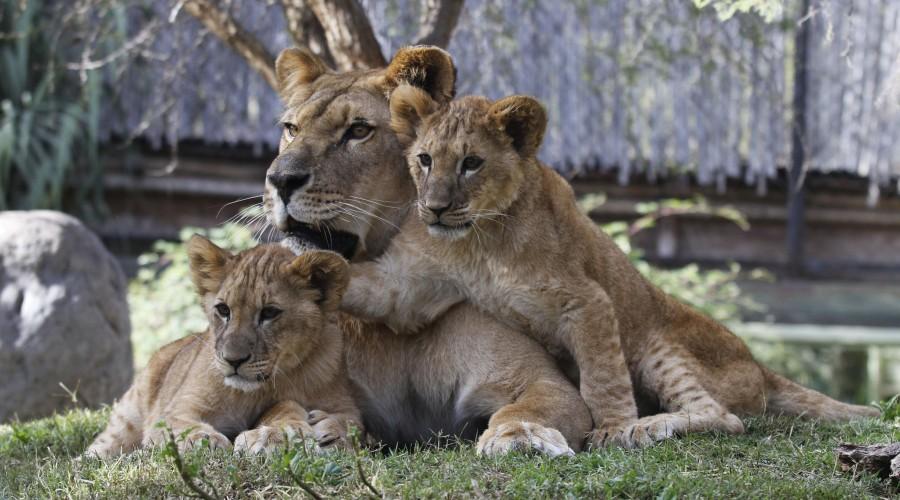 Buin Zoo y el Zoológico Nacional reabren sus puertas ¿Quiénes podrán asistir y cuáles sus horarios?