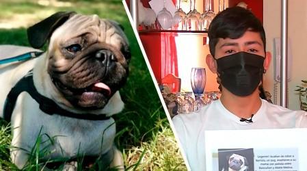 La raza pug está entre las más robadas: Familia busca recuperar a su mascota tras violento asalto