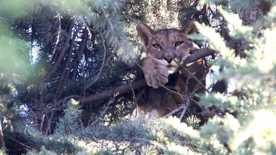 Puma atrapado en Lo Barnechea / Agencia Uno
