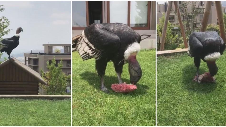 Cóndores arrasan con carne que se descongelaba en Lo Curro / Capturas videos.