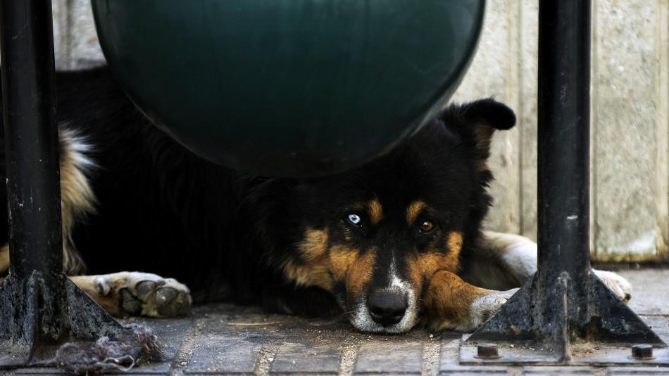 Ley Cholito: Denuncian presunto envenenamiento masivo de perros en Temuco / Referencial Agencia UNO.