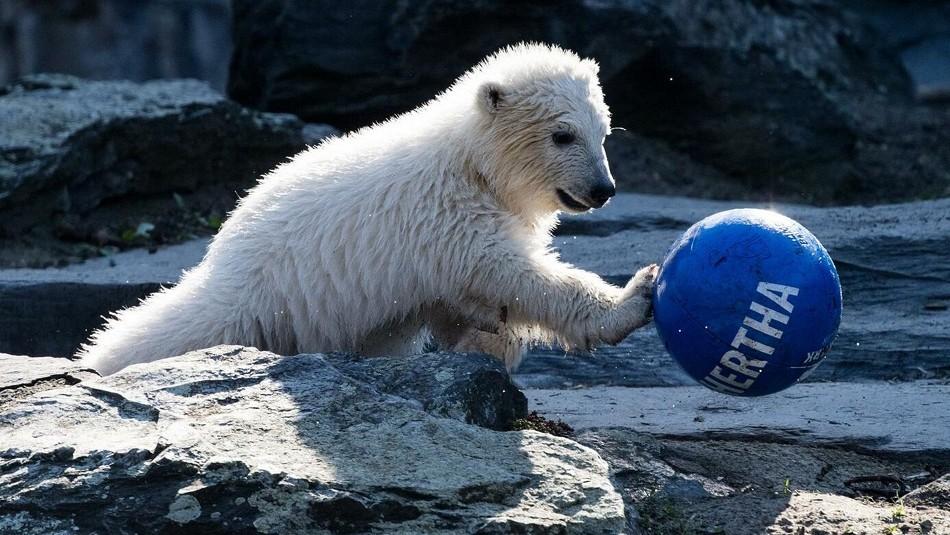 Hertha, la osa polar de Berlín. / Reuters