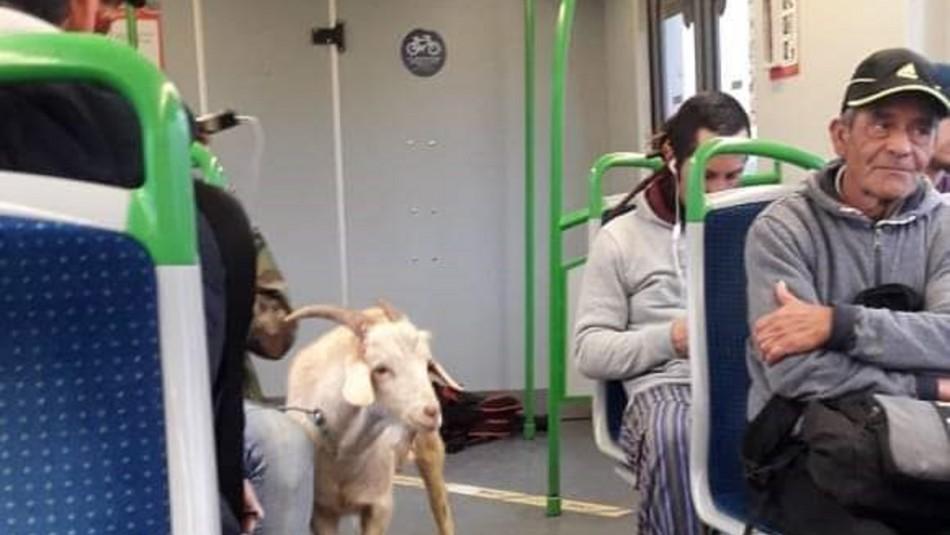 Cabra viaja en Metro de Valparaíso / Twitter: @Bastian_Rod
