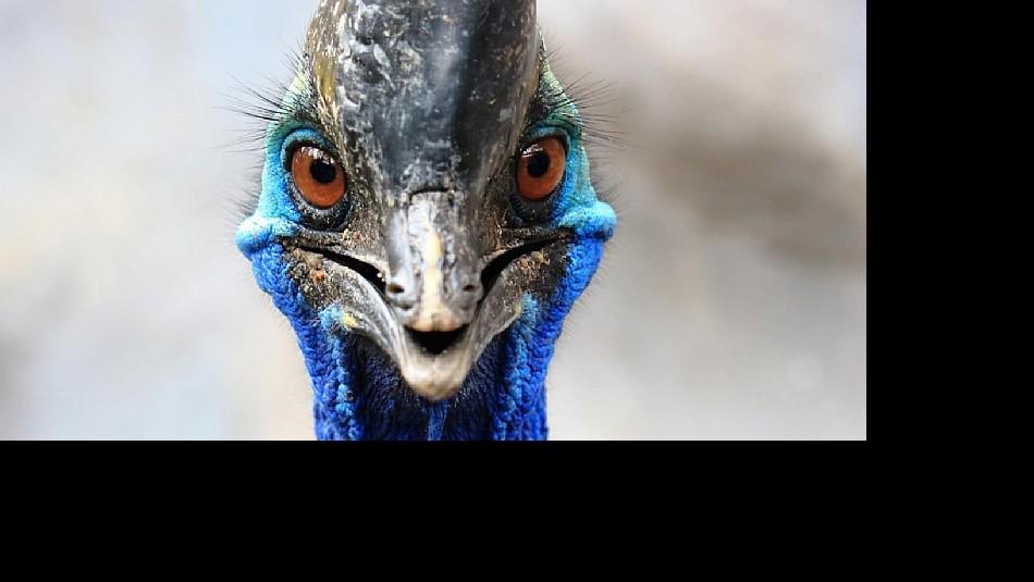 Exótico pájaro gigante no volador  mata a su dueño