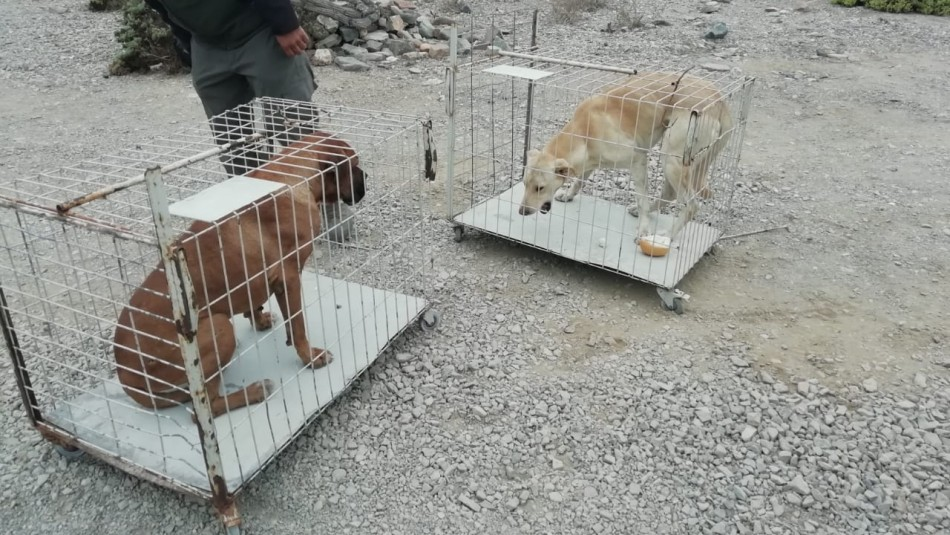 Los perros capturados / Conaf.