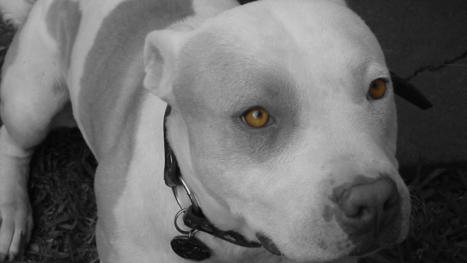 Ladrón intentó ingresar a una casa y fue atacado por perros pitbull: Terminó con una pierna amputada