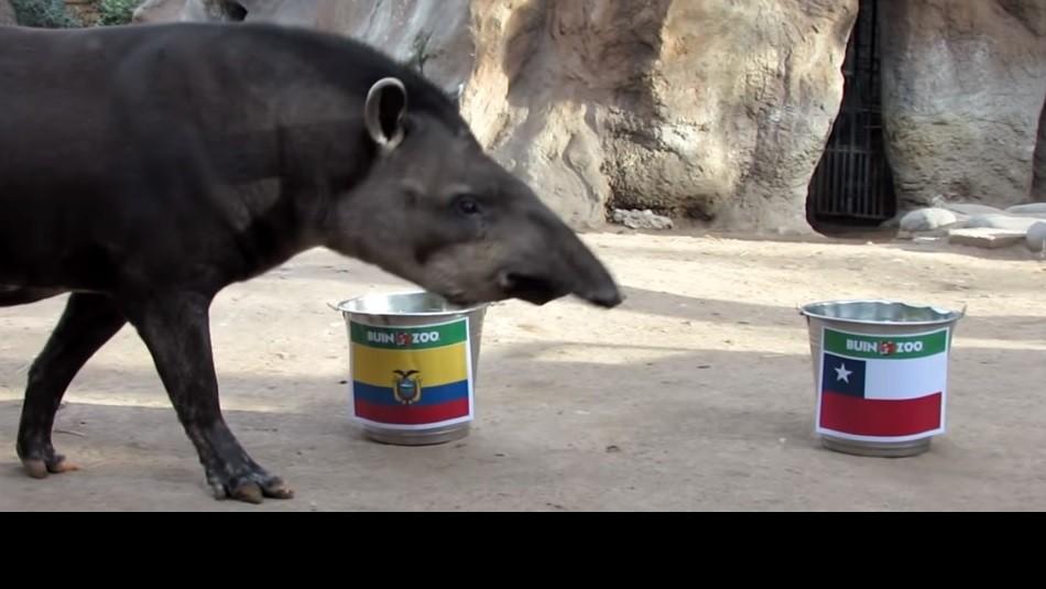 La predicción del tapir Manolo. / Captura