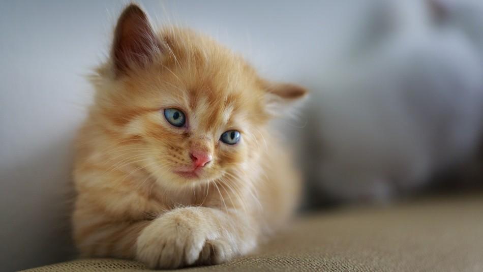 Estudio: Gatos domésticos sabrían su nombre pero ignoran a sus dueños