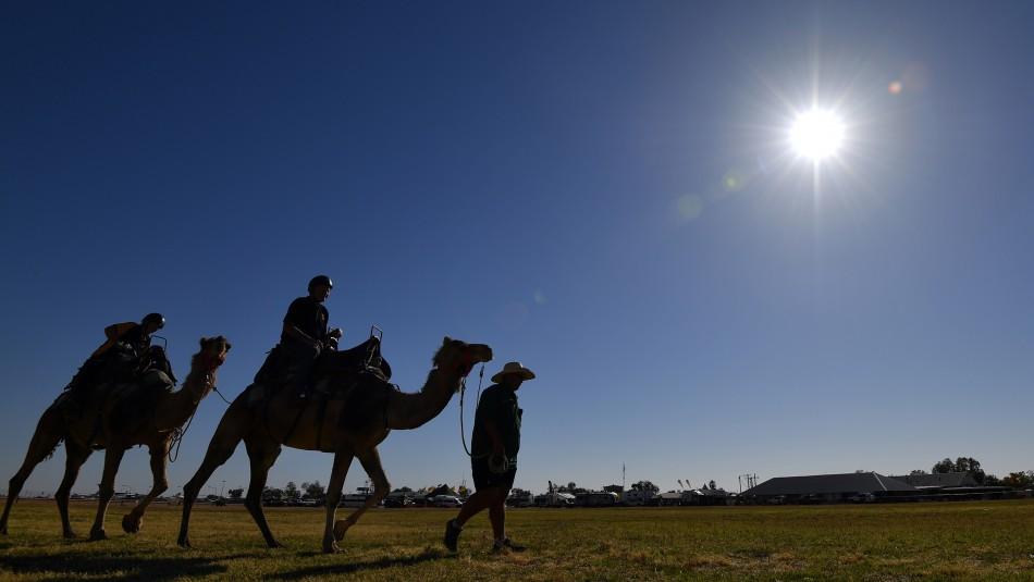 Matarán a 10.000 camellos salvajes en Australia por la sequía