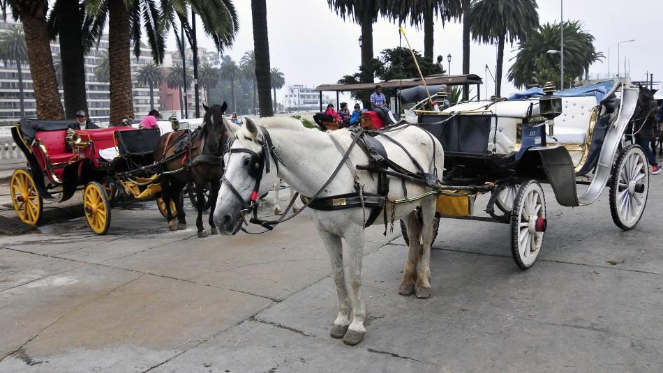 Victorias de Viña del Mar dejarán de funcionar con caballos y se evalúan opciones