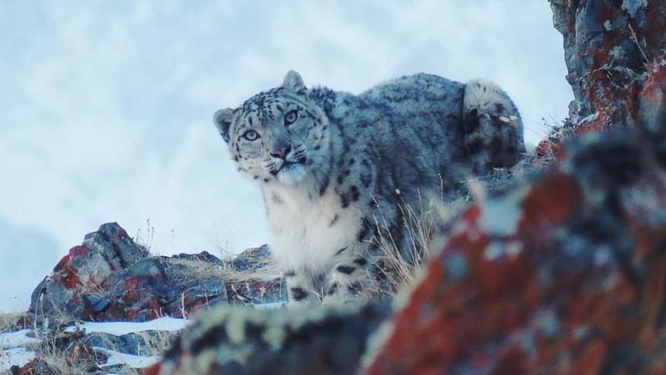 Investigador logró capturar en fotos al leopardo de las nieves, especie rara vez avistada