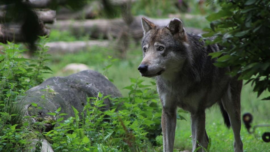 Avistan por primera vez en casi 100 años a un lobo gris en el norte de Francia