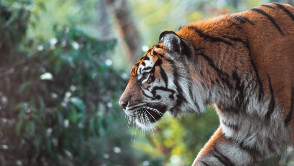 Ataques de tigres desatan pánico en la India: cinco muertos en dos semanas