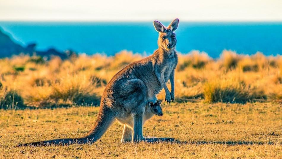 Así se ve por dentro la bolsa de un canguro: El impactante video de TikTok