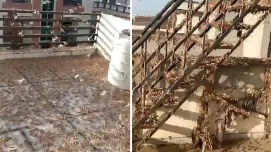 India enfrenta la peor plaga de langostas de los últimos 30 años
