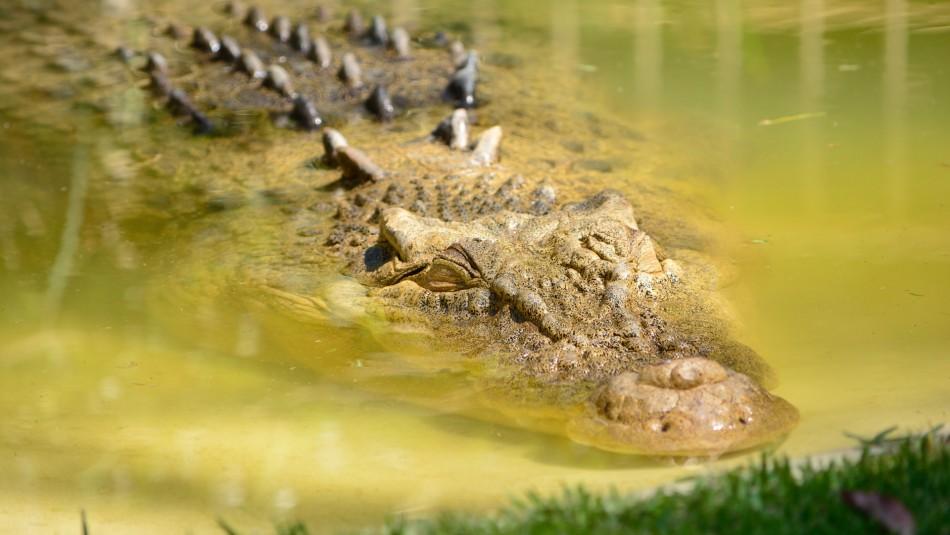 Menor de 14 años es atacado por un caimán de dos metros en Florida