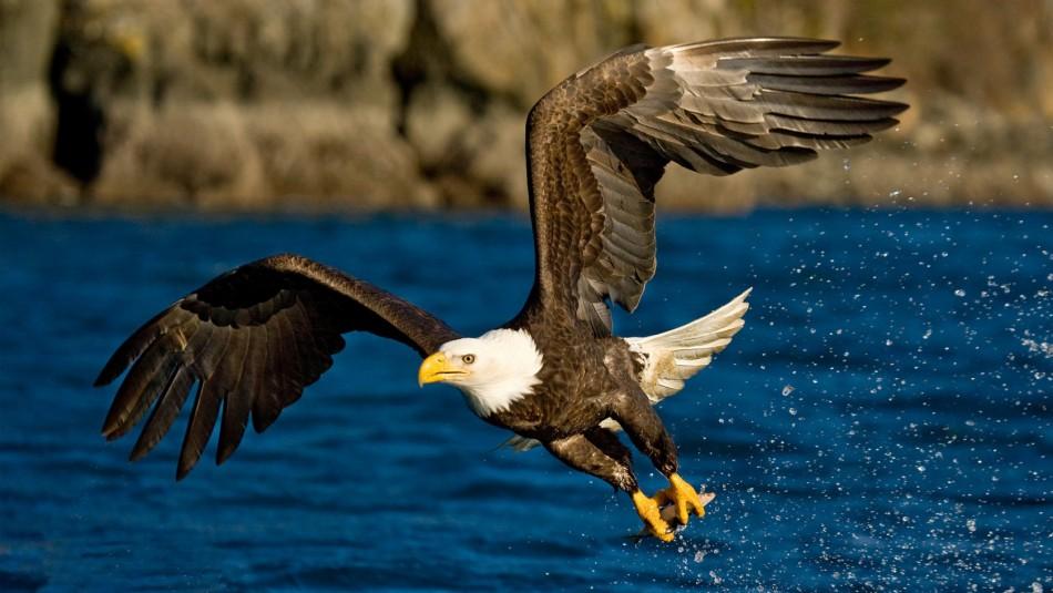 Más de un siglo después: Avistan nido con huevos de águila calva en Massachusetts