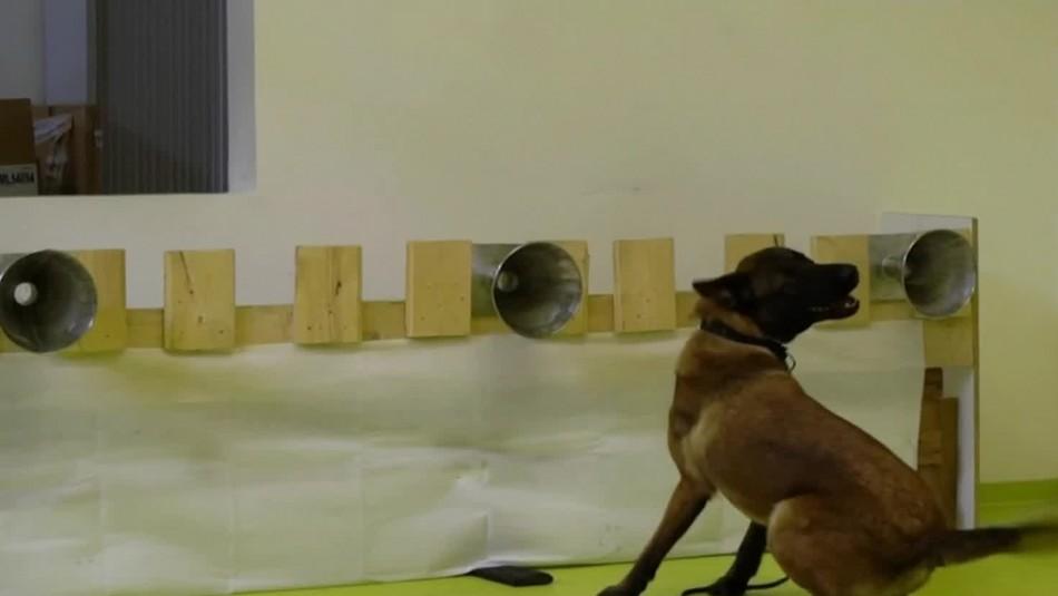 Entrenan perros para detectar personas contagiadas con coronavirus en Francia e Inglaterra