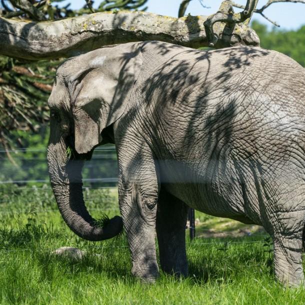 Indignación en India por hombre acusado de matar con explosivos a una elefanta embarazada
