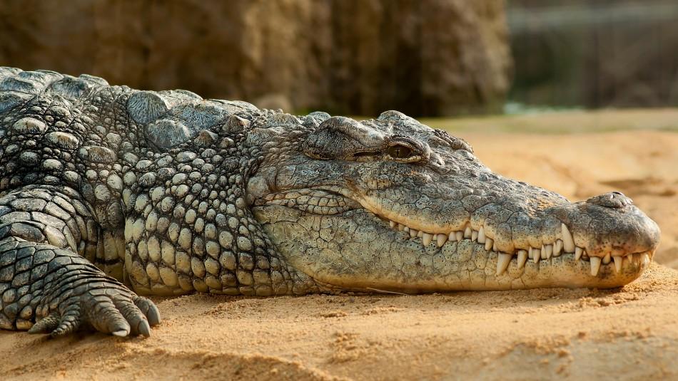 Estudio revela que ancestros de los cocodrilos habrían caminado sobre dos patas