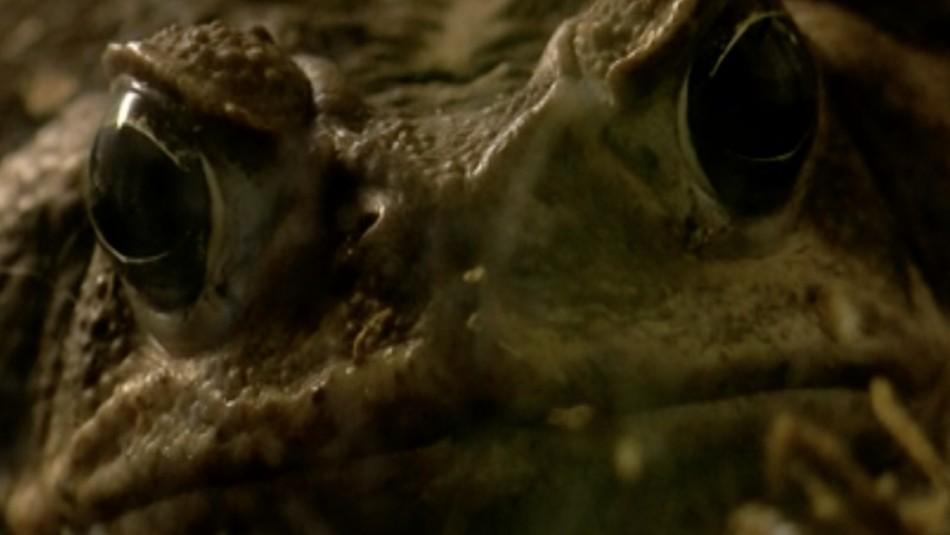 El venenoso sapo gigante que ha comenzado a aparecer en EEUU: