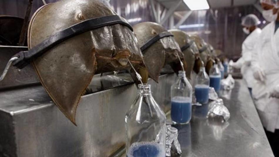 El cangrejo con 475 millones de años de antigüedad que está en peligro de extinción por su sangre azul
