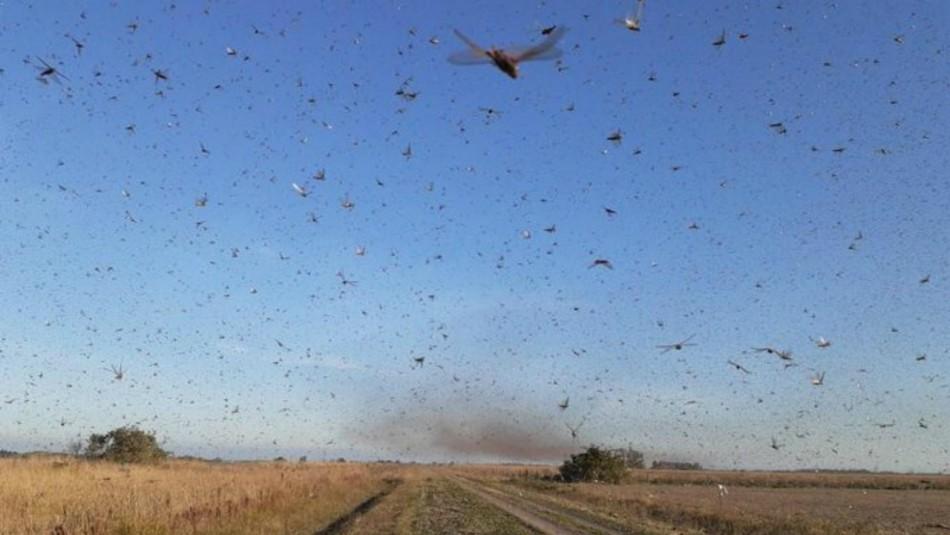 Todo lo que debes saber sobre la plaga de langostas que tiene en alerta a Argentina