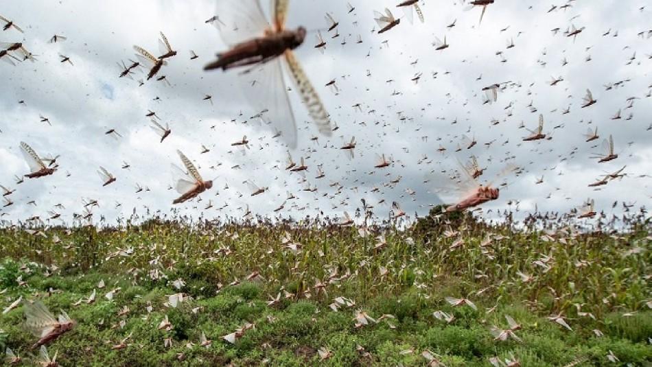 Avanza hasta 150 kms diarios: Argentina lucha contra enorme plaga de langostas que amenaza a Uruguay y Brasil
