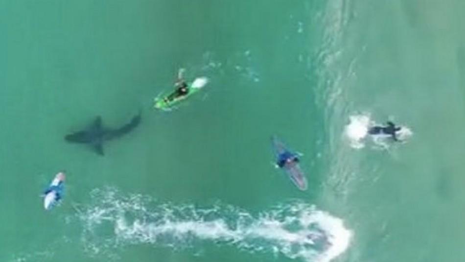 Dron capta momento en que un enorme tiburón blanco acecha a varios surfistas en Sudáfrica