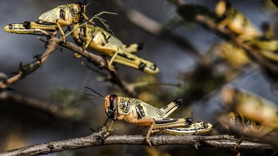 Experto descarta que plaga de langostas llegue a Chile: