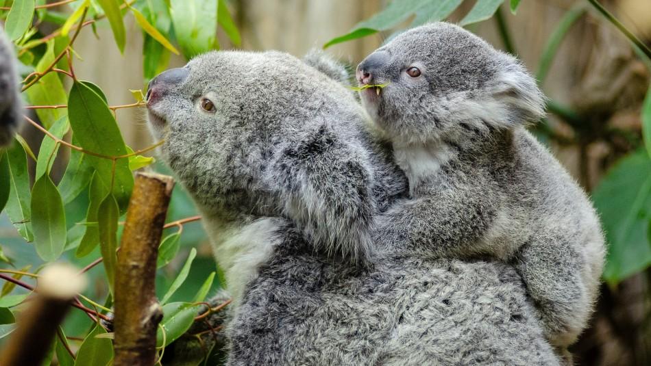 Koalas se extinguirían antes del 2050 en estado de Australia: Expertos llaman a tomar medidas