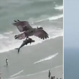 Impactante video: Águila caza a tiburón y sobrevuela una playa con la presa entre sus garras