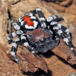 Descubren rara especie de araña