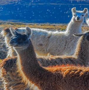 Nuevo estudio confirma que las llamas andinas neutralizan el coronavirus