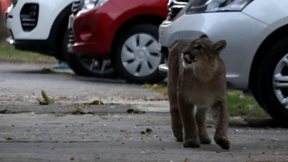 Reportan la presencia de un puma en la comuna de Lo Barnechea