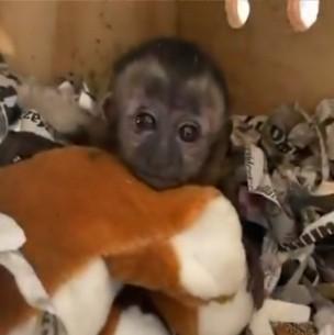 Rescatan a un mono que fue enviado por encomienda en México