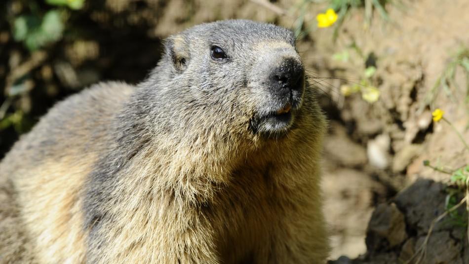 Menor muere de peste bubónica tras comer una marmota infectada en Mongolia