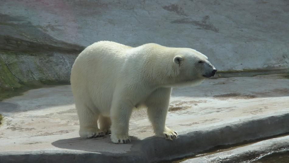 Estudio revela que el calentamiento global podría llevar a la extinción de los osos polares antes de 2100