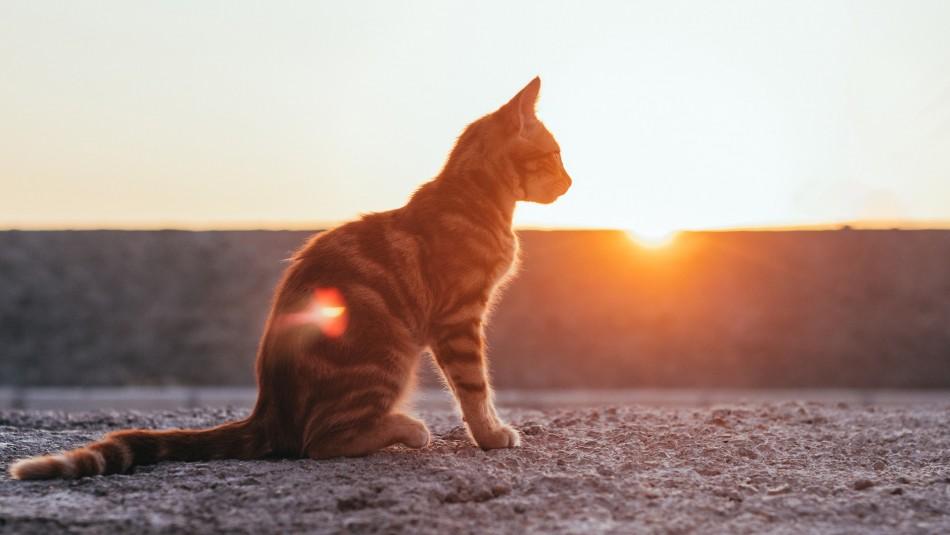 Curiosidades: ¿Qué le sucede a los gatos con la llegada del mes de agosto?